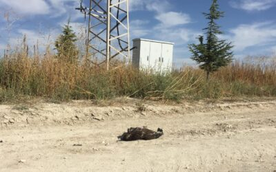 A lesser spotted eagle with a transmitter has been found dead in Turkey